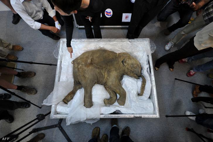 A Ljuba nevű, jól megőrzött mamutbaba maradványai Hongkongban, 2012. április 12-én