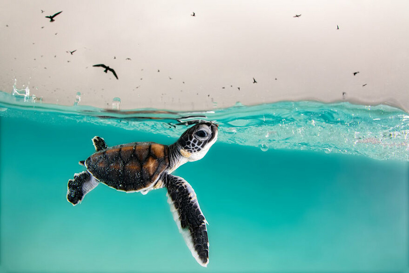 Kis teknős bújik ki a vízből Hannah Le Leu alkotásán, amit az ausztráliai Heron Island közelében készített.