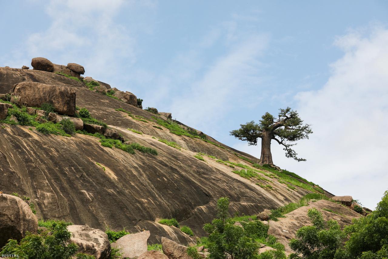Majomkenyérfa nő a Kano régióban található Rano közelében.