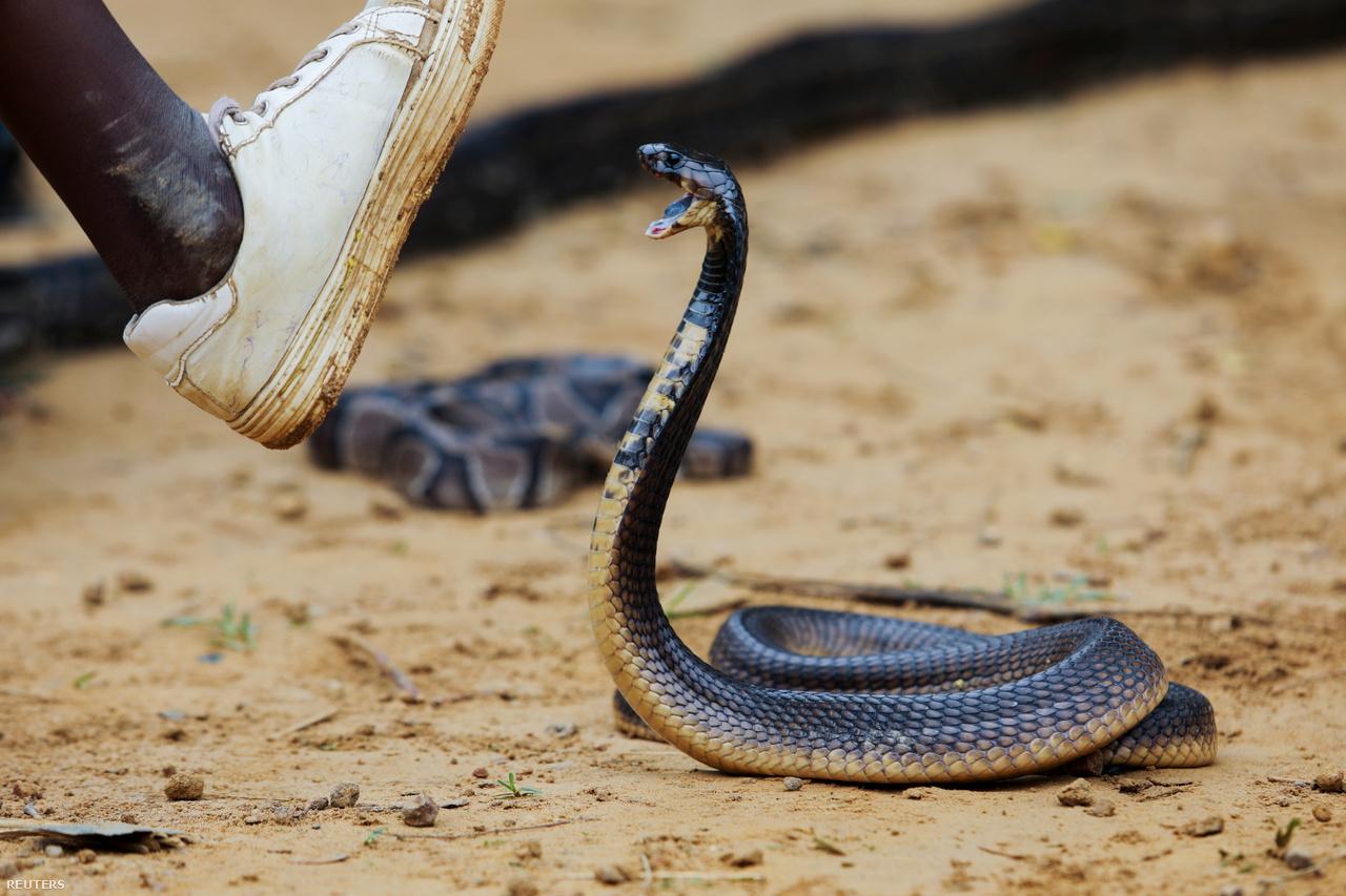 Fiatal fiú tartja lábát egy kobra előtt