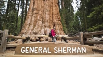 Tűzálló takaróval védik az erdőtűztől a világ legnagyobb fáját