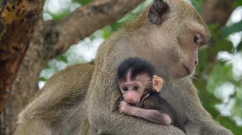 Miért hordják magukkal halott kicsinyeiket a majmok?