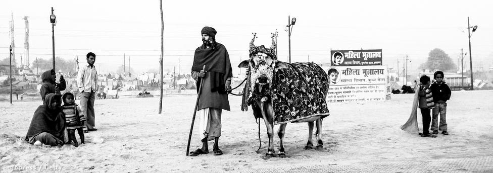 Egy indiai koldus kéreget feldíszített tehenével.