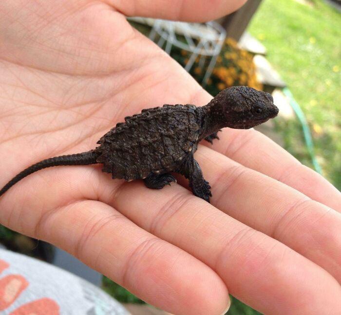 Ennek a bébi aligátorteknősnek még sokat kell nőnie ahhoz, hogy páncélhossza elérje a kifejlett példányra jellemző akár több mint 40 cm-t. Egyelőre úgy néz ki, mint egy miniatűr dinoszaurusz.