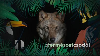 A farkasok is ugyanúgy csóválják a farkukat, mint a kutyák?