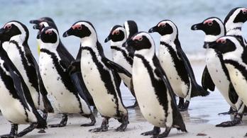 Veszélyeztetett pingvineket gyilkolhatott le egy méhraj