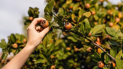 Szokatlan gyümölcstermők, amik helyet kaphatnak a kertedben