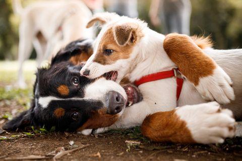 Fertőző rák, ami a kutyákat támadja: így kaphatja el kedvenced