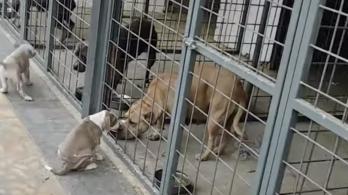 Kilenc tagbaszakadt kutyával védte a droglaborját a nemeskéri férfi