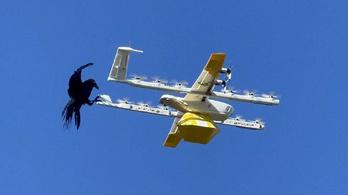 Videón, ahogy a hollók megtámadják a drónokat Ausztráliában
