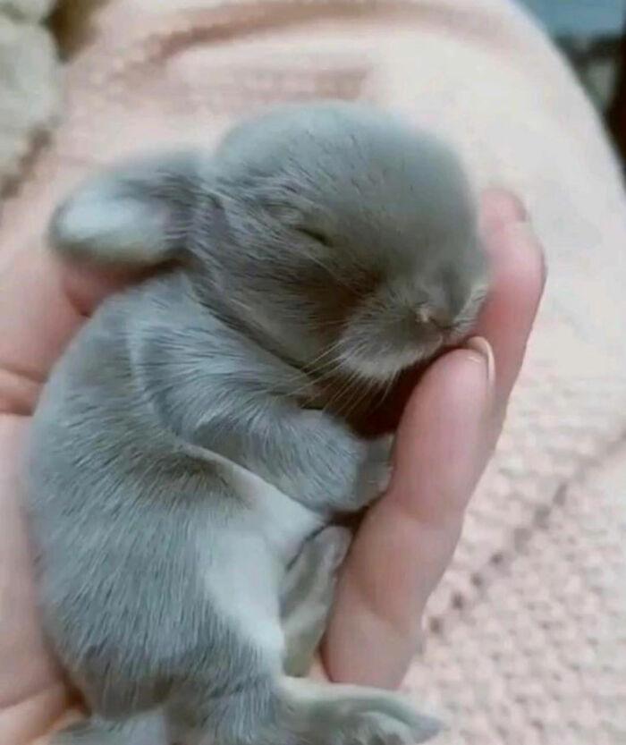 Ilyen aranyos egy újszülött nyuszi.