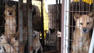 Egymillió kutyát esznek meg évente, most betiltanák a fogyasztásukat