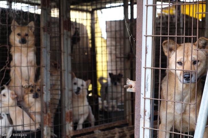Ketrecbe zárt kutyák egy kutyahús-farmon, Dél-Koreában