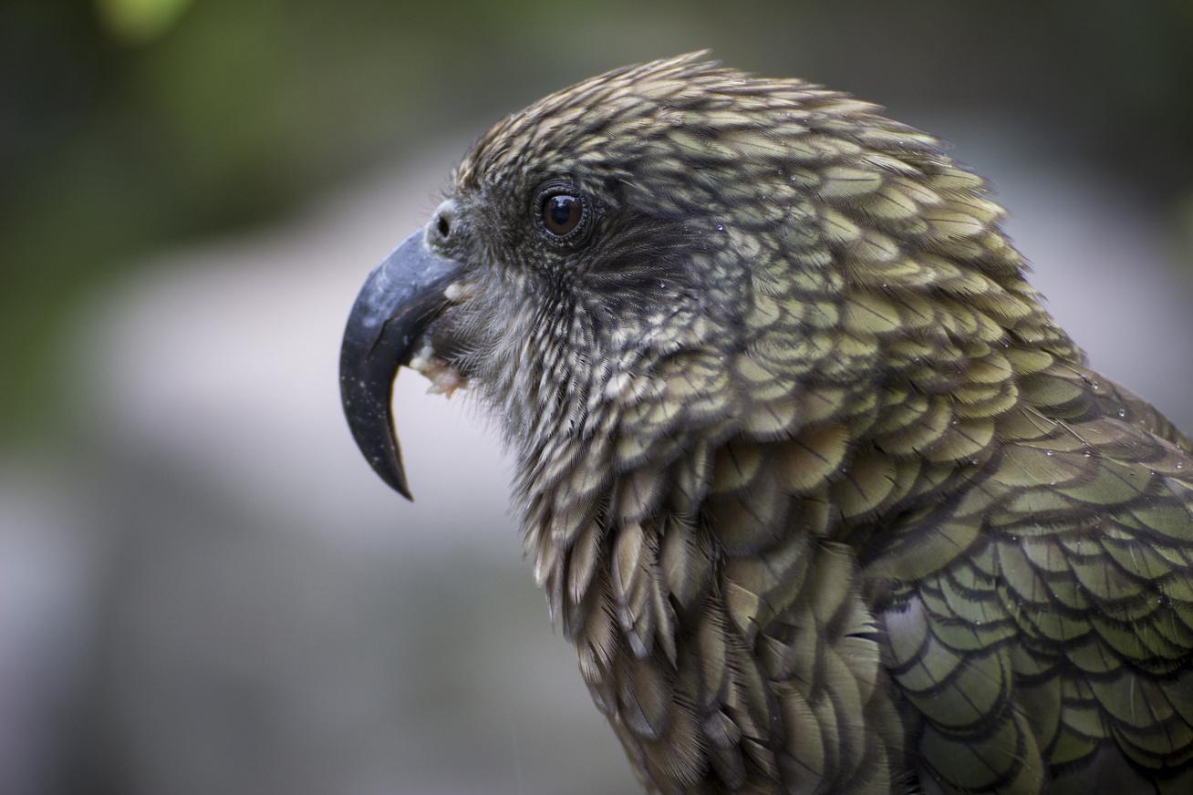 kea-papagáj2