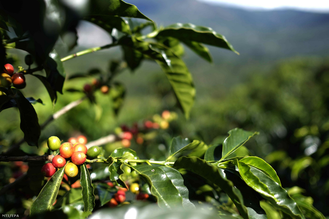 Kávécserje egy ültetvényen a Costa Rica-i Zona de los Santosban 2019. december 12-én
