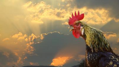 Tojást tojt a kakas, bíróság elé idézték