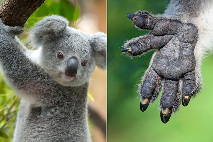 Bár első ránézésre a koalák nem tűnnek hasonlónak az emberhez, érdemes őket alaposabban is megnézni. Kezük némiképp a miénket idézi, de az ujjlenyomatuk szinte megkülönböztethetetlen az emberétől.