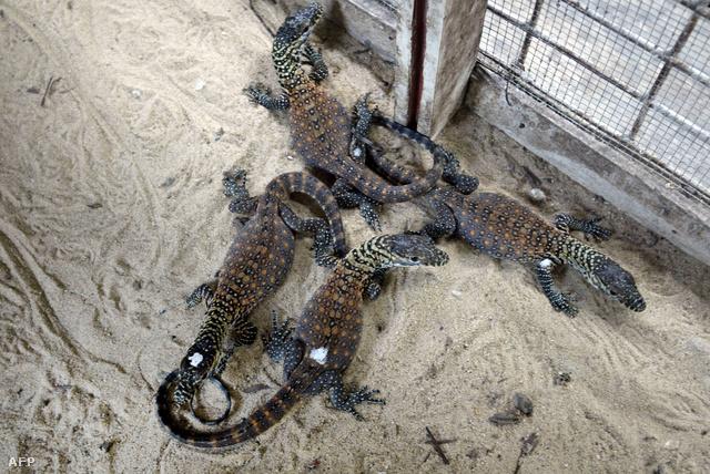 Négy mesterségesen keltetett sárkánybébi
