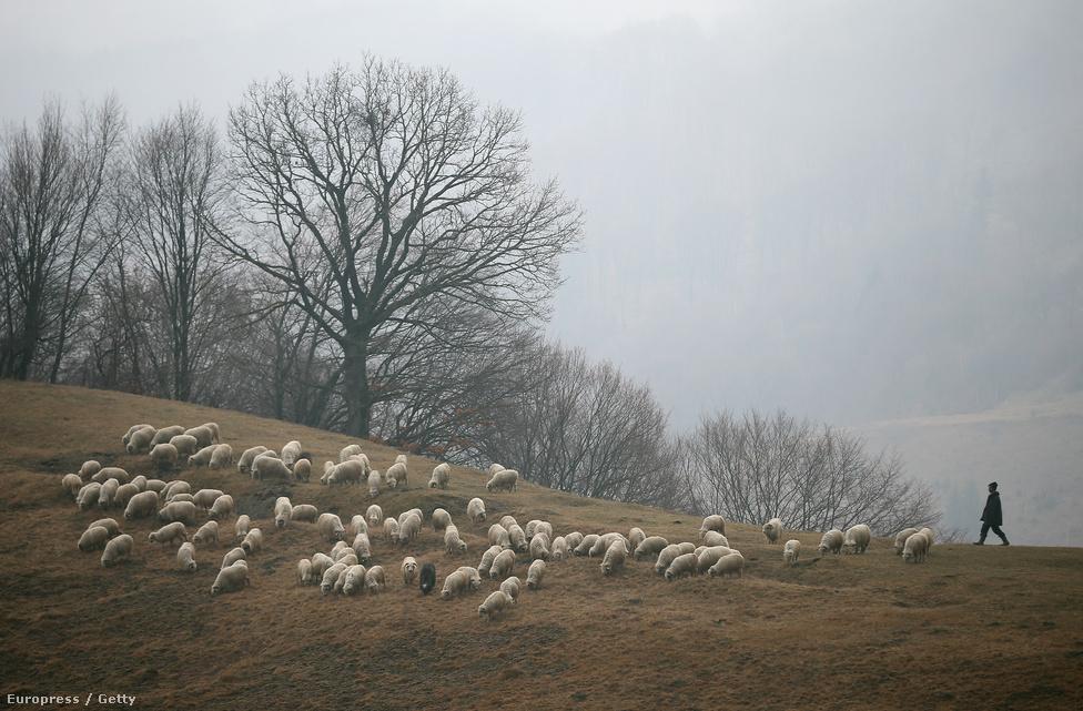 Pásztor tereli a birkákat az erdélyi Alpok határában.