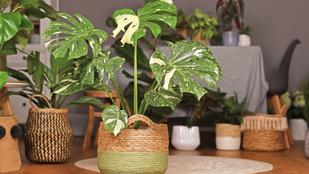 Íme, a világ 6 legdrágább szobanövénye