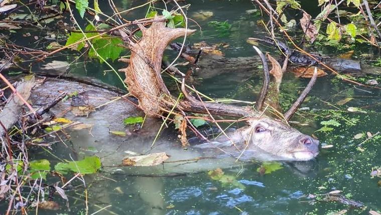 Halat nem fogott, de kimentette a szarvast a horgász