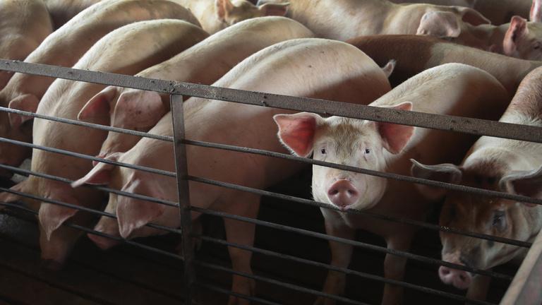 Rossz hír a magyar sertéseknek, jó hír a magyar hústermelőknek