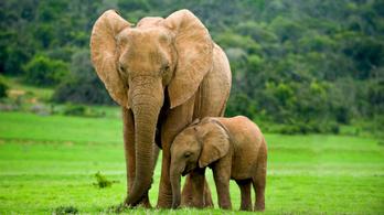 Fejlődnek az elefántok, a nőstények nem növesztenek agyart az orvvadászok miatt