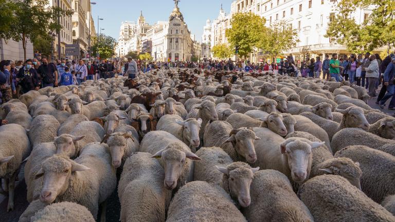 Bárányok és kecskék vonultak végig Madridon