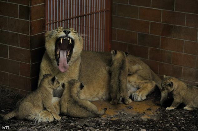 Shirwane a nőstény indiai oroszlán (Panthera leo persica) 2013. február 16-án született kölykeivel a Fővárosi Állat- és Növénykertben március 28-án.