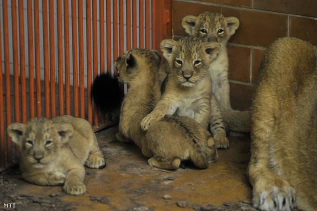 Shirwane a nőstény indiai oroszlán (Panthera leo persica) 2013. február 16-án született kölykei a Fővárosi Állat- és Növénykertben március 28-án.