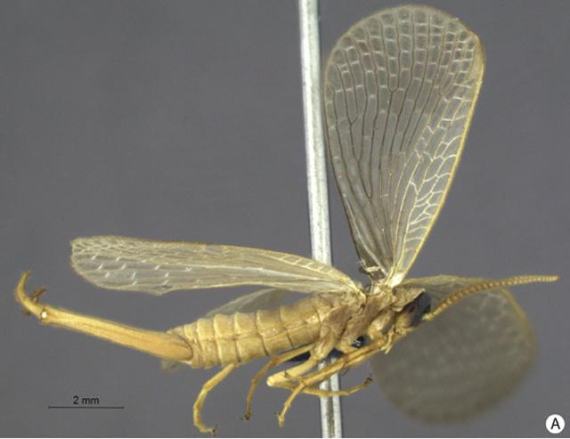 Austromerope brasiliensis