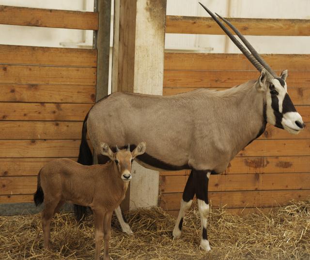 oryx 283