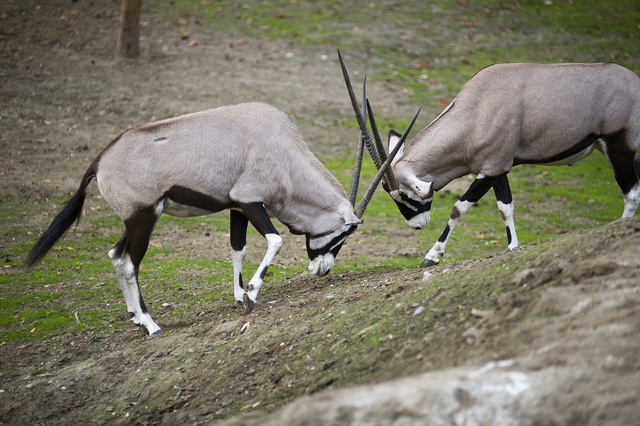 Az Állatpark nyársas antilopjai 9,5 hónappal ezelőtt