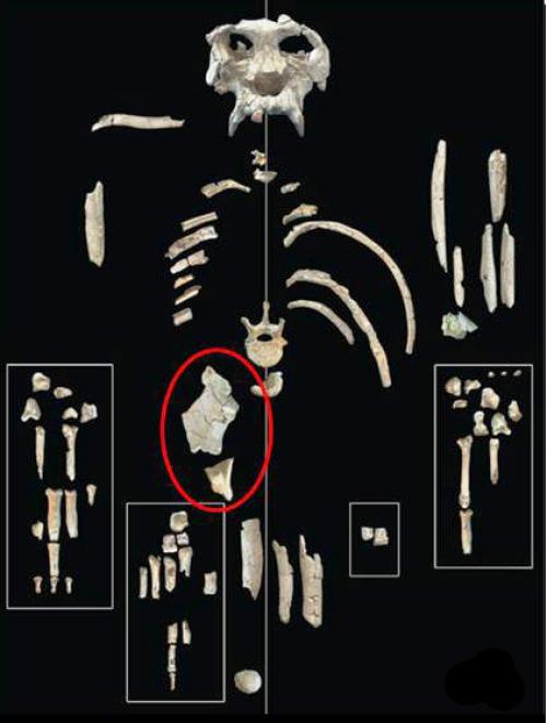 A Missouri Egyetem anatómiai szakértői szerint az állat medencecsontjának alakja arra utal, hogy még az emberszabású majmok evolúciójának kezdetén élt: miután már elváltak a többi majomtól, de még mielőtt elkezdtek volna kialakulni a különböző emberszabásúak fajai.