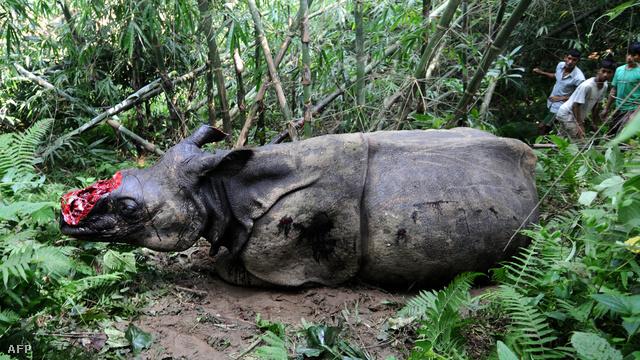 Megsebesített és szarvától brutálisan megfosztott rino egy indiai nemzeti parkban