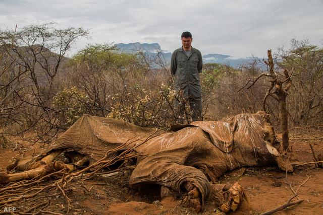 Orvvadászok áldozatává vált afrikai elefánt maradványai Kenyában.