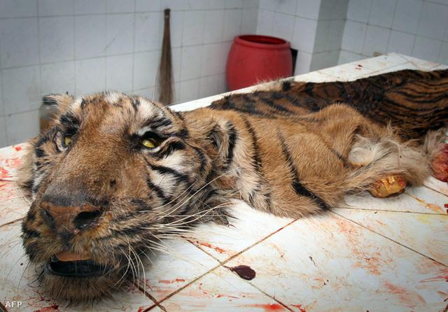Egy szumátrai tigris maradványa