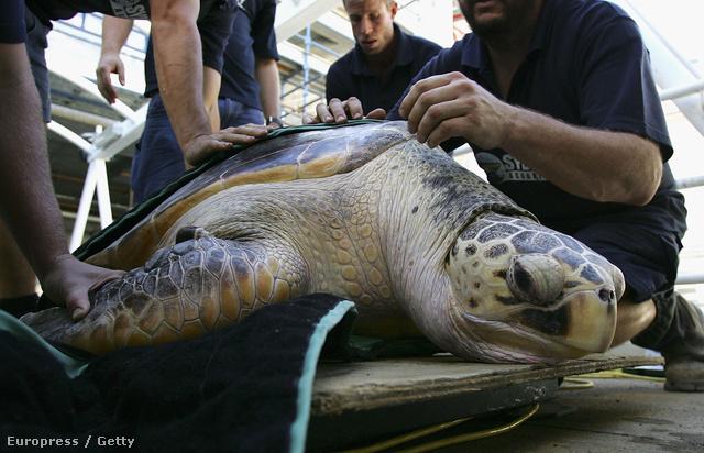 Húsz éves teknős kerül biztonságba az ausztráliai Sydneyben.