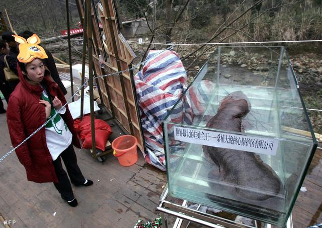 Óriás szalamandra bemutató kínai módra