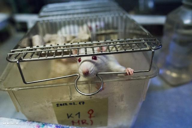 Kísérleti patkány a Sporttudományi Kutatóintézetben