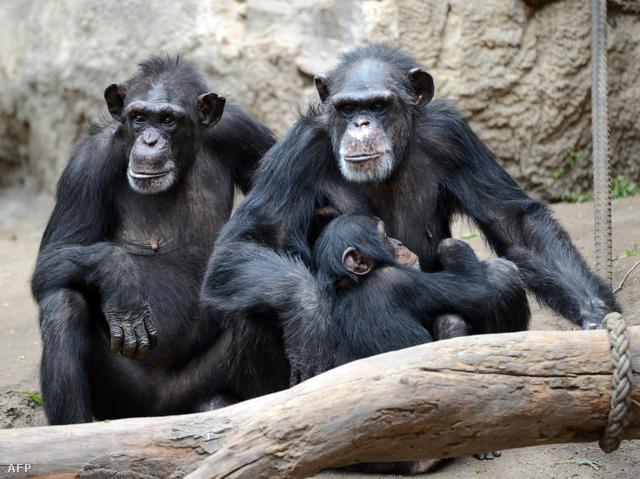 Fogságban élő csimpánzok