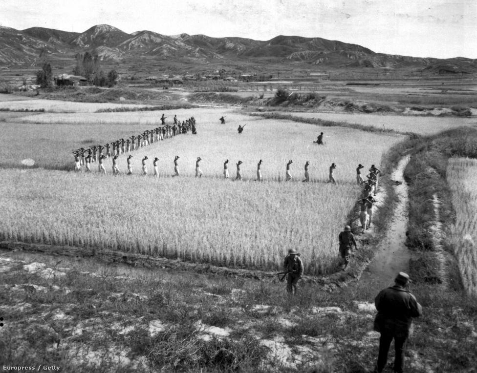Északi hadifoglyok menetelnek egy rizsföldön, amerikai tengerészgyalogosok kíséretében.
