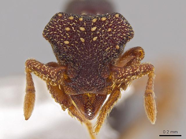 Eurhopalothrix zipacna