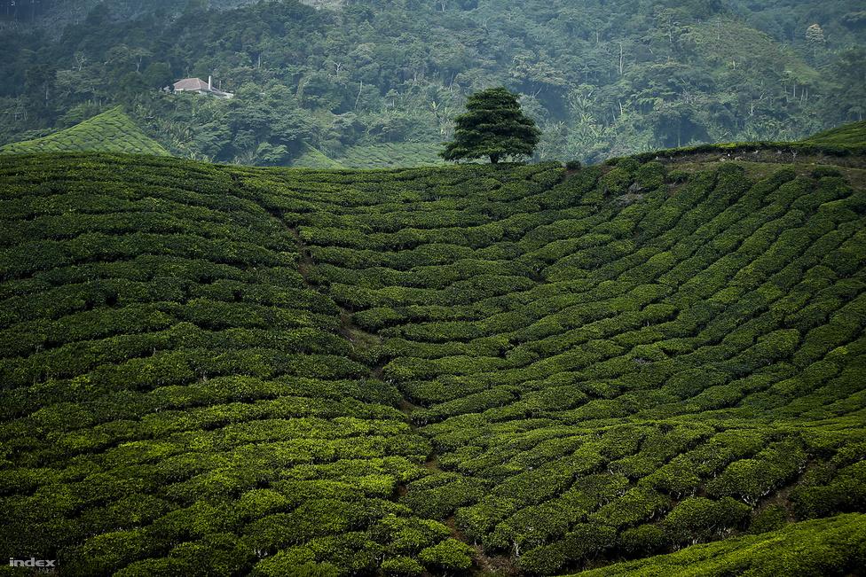 A Kuala Lumpurtól 200 kilométerre fekvő Cameron-felföld a belföldi és külföldi turisták                         körében is hatalmas népszerűségnek örvend. Az átlagosan 1200-1500 méter magasan fekvő területet                          trópusi esőerdő borítja, ahol túrázni lehet, vagy akár háttérképnek is beillő teaültetvények fölött                          teázhatnak a látogatók. Az 1885-ben felfedezett felföldön még az időjárás is barátságosabb: a páratartalom alacsonyabb, mint máshol Malajziában, az évi átlaghőmérséklet pedig csupán 18 fok. Nem hiába volt                          már száz éve is a britek kedvence ez a környék.