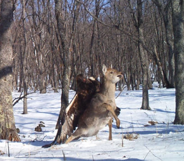 a-camera-trap-in-the-forest-of-the-russian-far-east-captured-a-r