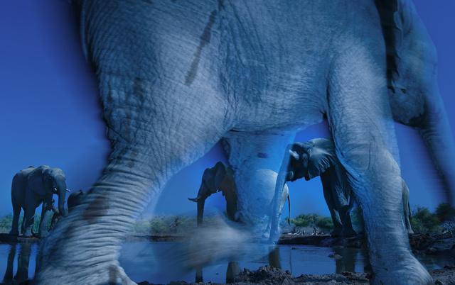 Greg du Toit nyerte az Év Természetfotósa címet a brit Természettudományi Múzeum éves pályázatán. A fotós a botswanai Észak-Tuli-i Vadvédelmi Területen készítette ezt a kísérteties hangulatú fotót egy forrásnál pihenő elefántcsordáról. A hosszú záridővel készült felvételen egy bébielefánt sétál át a kamera előtt. Greg tíz éve foglalkozik elefántok fotózásával.