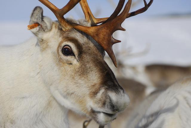 reindeer-close-up