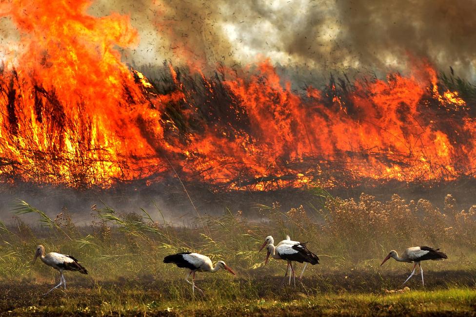 Tűzmadarak A júliusi forróságban tüzet fogott a Csóka (Észak-Bánát) melletti nádas a Tisza egykori öntésterületén