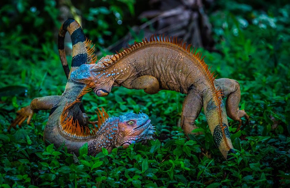 Sárkányok harca Két hím leguán harca párzási időszakban