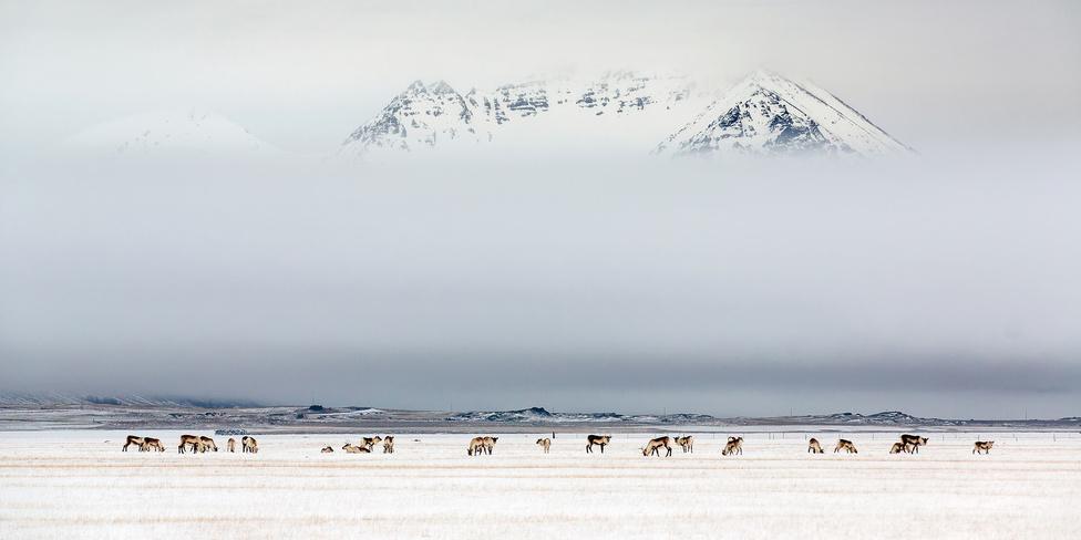 Rénszarvasok délutánja Legelésző rénszarvasok Izland keleti partján